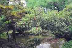 四季咲きツツジが花を咲かせています。