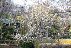 愛山荘の梅が見頃となってきました。