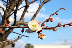 庭園を彩る梅