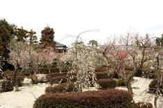 梅園の梅が満開を迎えました。