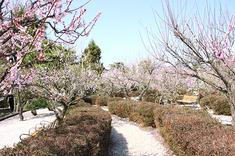 梅が満開となりました。